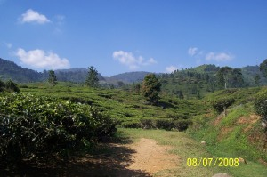 Kebun teh khas asli pegunungan.