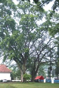 Pohon Tinggi Sejuk-Segar