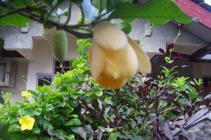 Kuning Cempaka berkelopak indah, rapuh, wangi harum semerbak, mewangi, lembut membuai rasa.